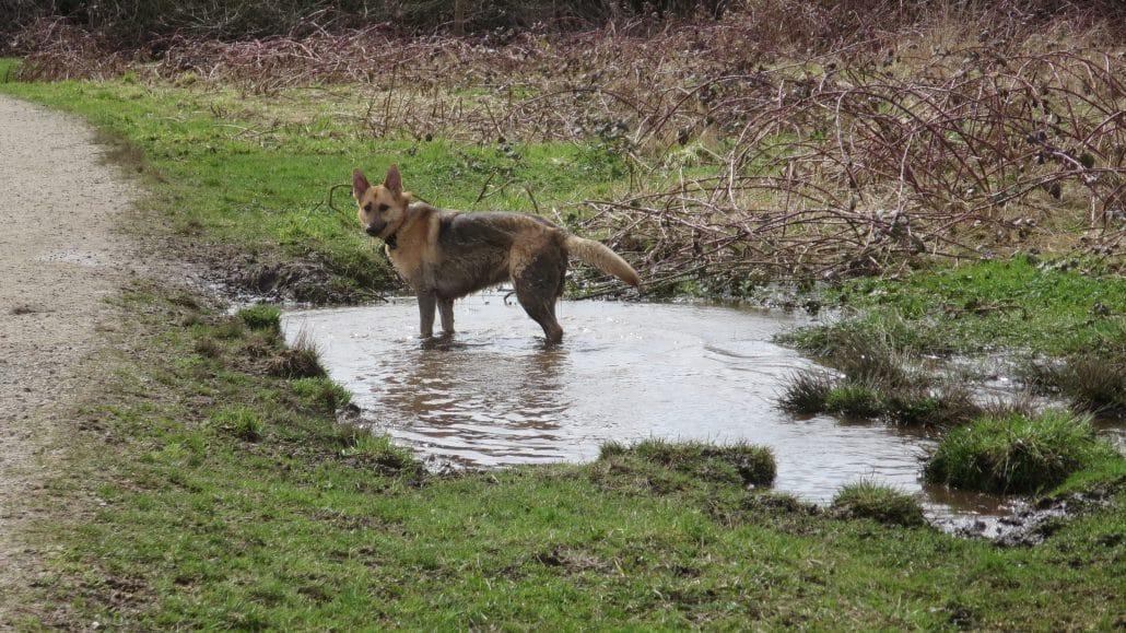 Tynehead Regional Park, Surrey, BC - German Shepherd in a Mud Puddle