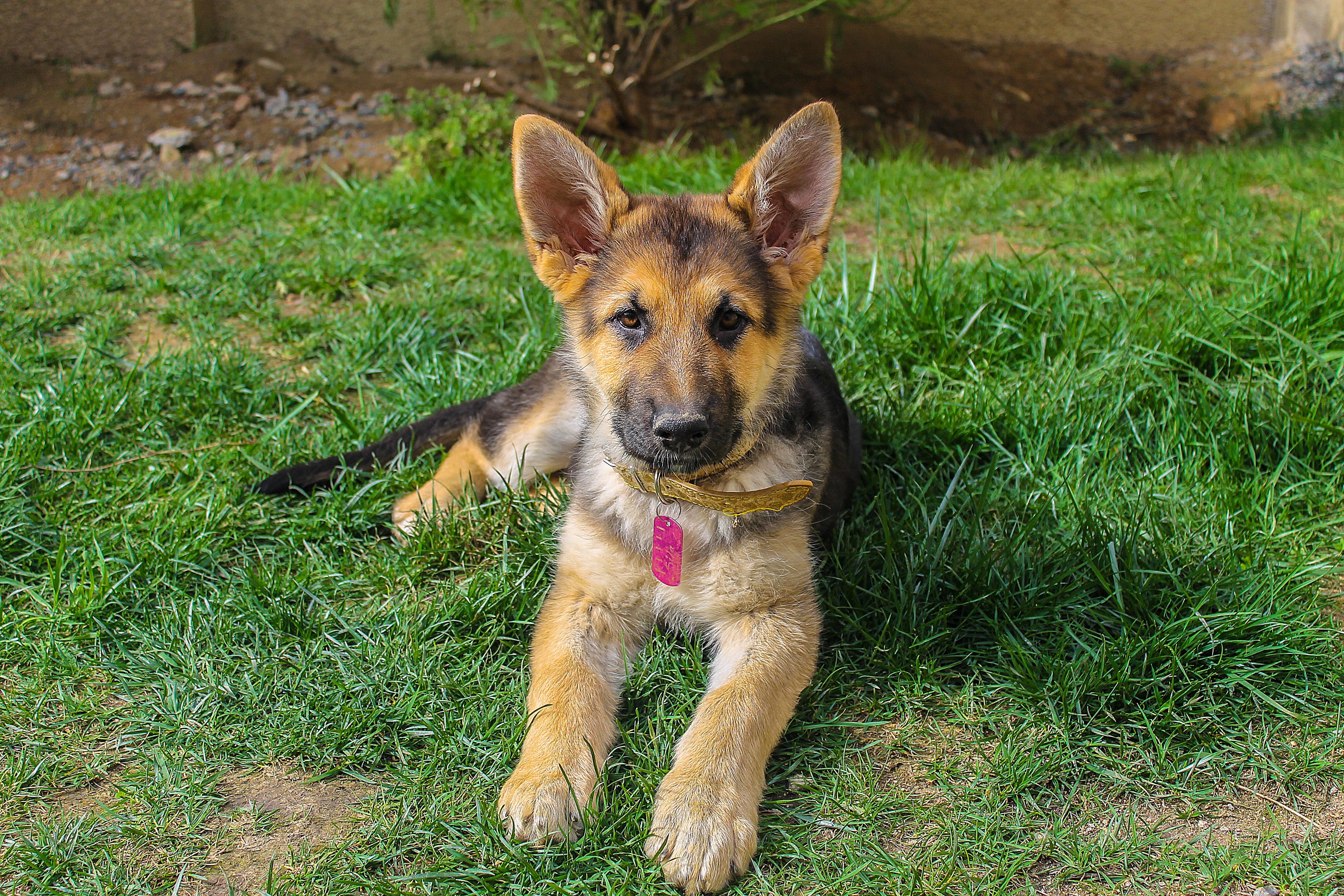 german-shepherd-dog-1071592